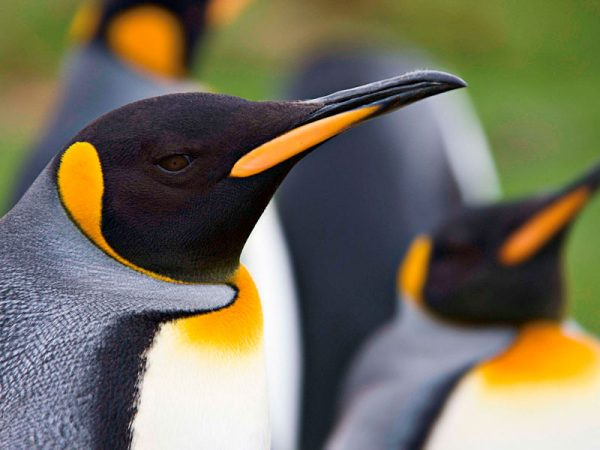 Pinguinos en Islas Malvinas
